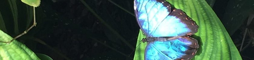 Morpho butterfly iridescent wings