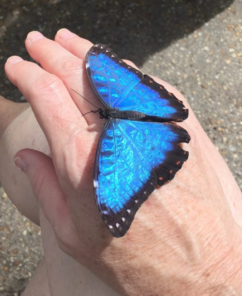 Morpho butterfly with iridescent wings on hand